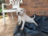 Beautiful 6 week old Male for sale.