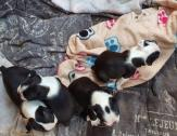 Boston terrier puppies for sale Purebred