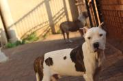 dogo argentino × Pitbull Pup for sale