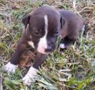 Pitbull puppies ready to go