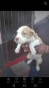 Genuine Pitbull puppies
