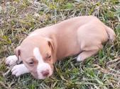 Pitbull puppies BROWN CREAM AND BLACK