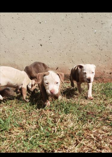 American Pitbull puppies for sale. Pure breed red nose in Randfontein, Gauteng