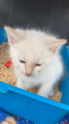 Beautiful blue eyed White flame point Ragdoll siamese kittens