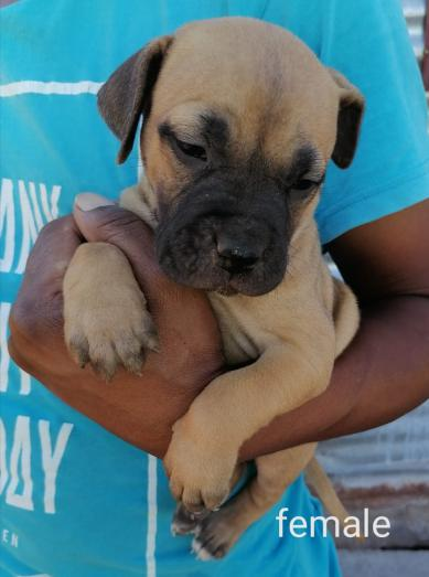 Boer Boel Puppies LARGE BREED