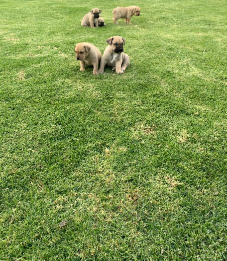 Boerboel puppies 6weeks old