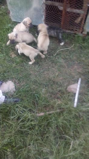 Boerboel pups sale in Durban, KwaZulu-Natal