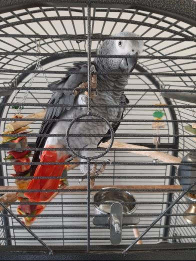 Congo African Grey in Durbanville, Western Cape