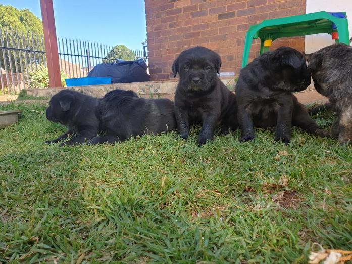 Gorgeous Cane Corso Puppies in Lenasia, Gauteng