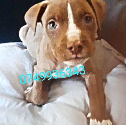 Healthy Pitbull Male Puppy in Pretoria North, Gauteng