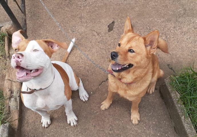 Pitbull mix with Chinese chow chow in Durban, KwaZulu-Natal