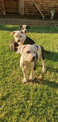 Pitbull puppies in Kempton Park, Gauteng