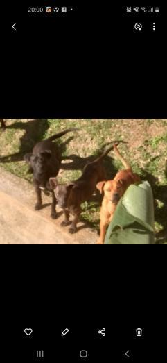 Pitbull x Rottweiler puppies for sale in Durban, KwaZulu-Natal