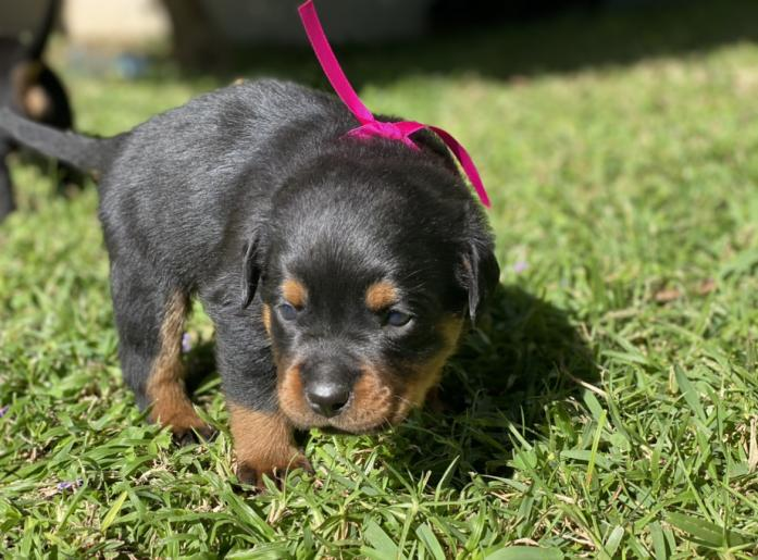 Pure-bread Rottweiler puppies for sale
