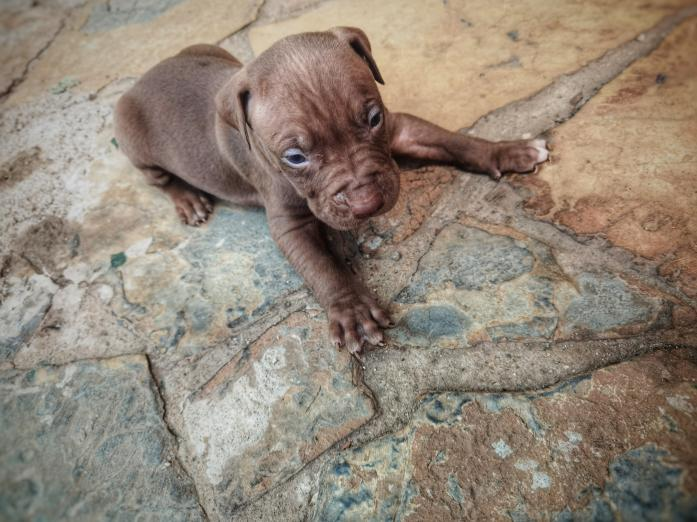 Red Nose Pitbull Puppy in Roodepoort, Gauteng