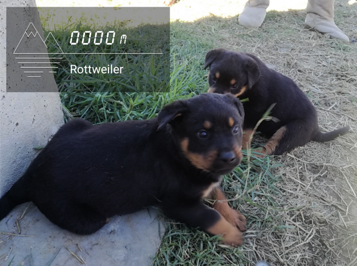 Rottweiler puppies in Thaba Nchu, Free State