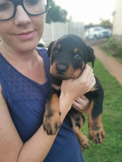 Rottweiler pups available in Amanzimtoti, KwaZulu-Natal