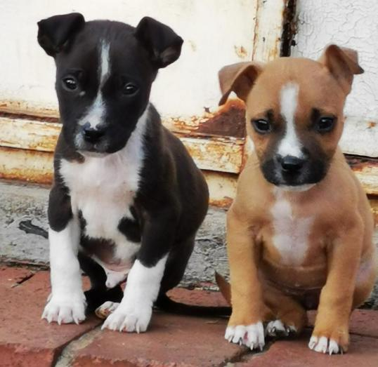 Pitbull puppies for sale in Vanderbijlpark, Gauteng