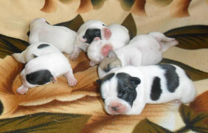 French Bulldog puppies for sale in North Riding, Gauteng