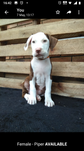Purebred American Pitbull Terrier Puppies For Sale