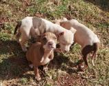 American Pitbull puppies for sale. Pure breed red nose
