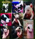 bull terrier Puppies for sale Male & female