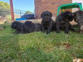 Gorgeous Cane Corso Puppies