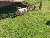 Jack Russell puppies 1female 4males
