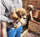 Male boerboel puppies
