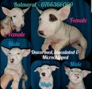 Pure bred Bull Terrier puppies