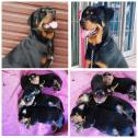 Rottweiler Puppies black an Tan