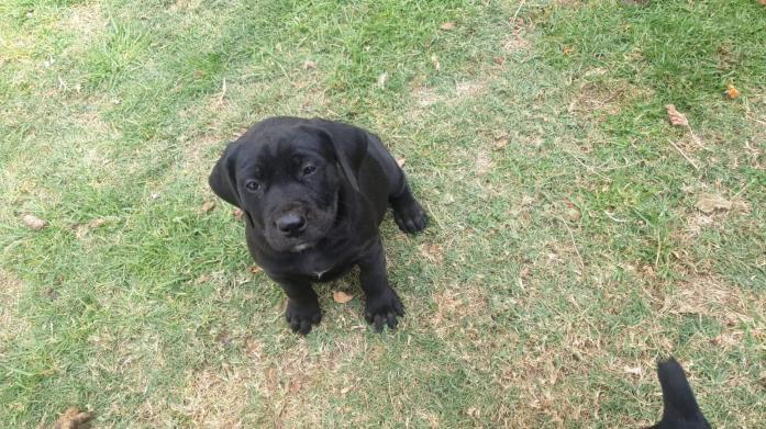 Black Boerboel Type Puppies in Centurion, Gauteng