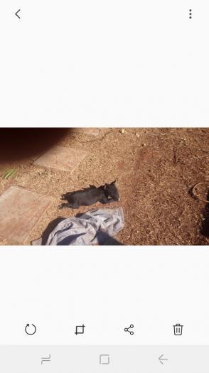 Black female English Bull Terrier in Walkerville, Gauteng