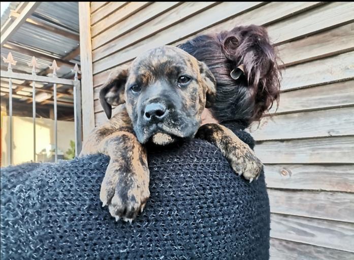 Boerboel cross Rottweiler Puppies in Malmesbury, Western Cape