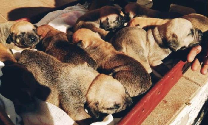 Boerboel puppies for sale in Durban, KwaZulu-Natal