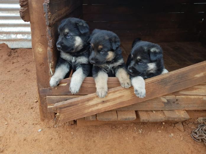 German Shepherd pups in Kimberley, Northern Cape