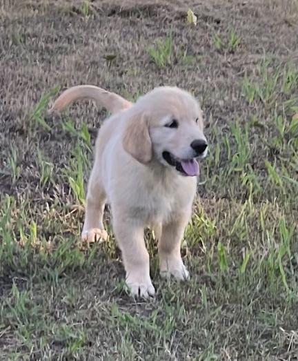 Golden Retriever Puppy for Sale in Pretoria North, Gauteng