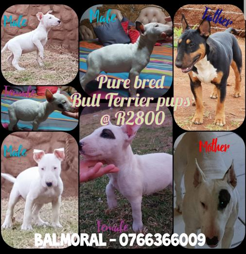 Pure bred Bull Terrier puppies 3 x males and 2 x females in Bronkhorstspruit, Gauteng