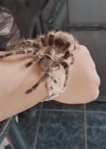 Tarantulas for sale in Chatsworth, KwaZulu-Natal
