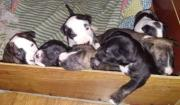 7 Beautiful English Bull Terrier Puppies For Sale