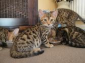 Absolutely Stunning Bengal kittens