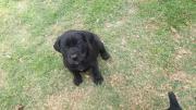 Black Boerboel Type Puppies