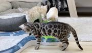 Lovely Bengal kittens Available For Sale