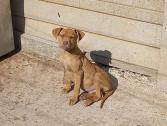 Male pitbull puppy for sale R1 800