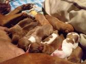 Pitbull cross puppies