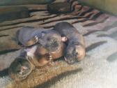 PURE BREED BOERBOEL PUPPIES FOR SALE
