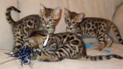 Purebred Gorgeous Bengal Kittens.