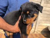 Rottweiler pups available
