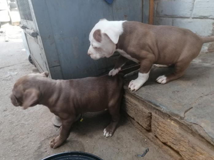 American pitbull terrier in Polokwane, Limpopo