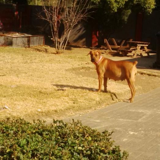 Boerboel Adult Female in Vanderbijlpark, Gauteng